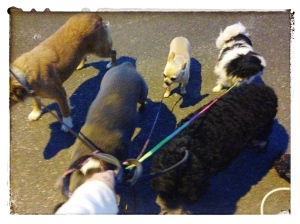 Zappen enjoys a pack walk for the first time in his life.