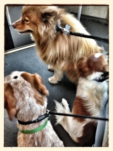Cousins Atlas & Ricki accompany Daysee to the vet for moral support.